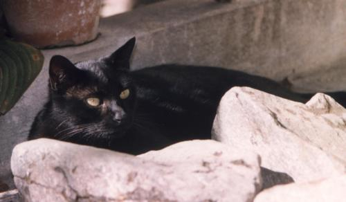 Pantera sulle pietre