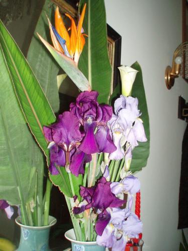 Iris calla sterlizia 1