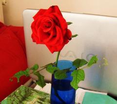 Rosa rossa smangiata dal bruco
