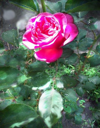 Rosa rosa intenso
