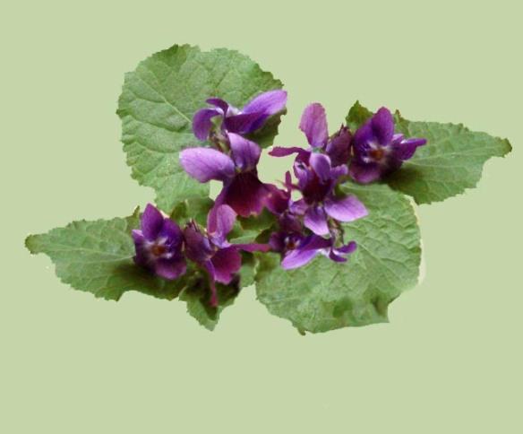 Violette blog